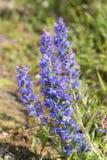 Flores azuis do prado Foto de Stock Royalty Free