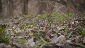 Flores azuis do snowdrop da mola em uma clareira video estoque