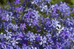 Flores azuis do tempo de mola no jardim Imagem de Stock