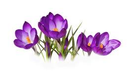 flores azuis dos açafrões no fundo branco Imagens de Stock Royalty Free