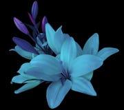 Flores azuis dos lírios, em um fundo preto, isolado com trajeto de grampeamento ramalhete bonito dos lírios com folhas violetas,  Fotografia de Stock Royalty Free