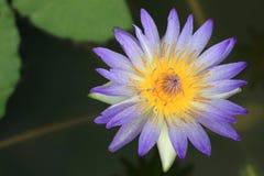 Flores azuis dos lótus imagem de stock royalty free