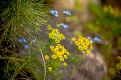 Flores azuis e amarelas da mola O campo de flores da mola e aperfeiçoa o dia ensolarado Foco seletivo Flores selvagens imagem de stock