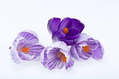 Flores azuis e brancas do açafrão Fotos de Stock