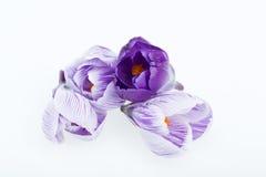 Flores azuis e brancas do açafrão Imagem de Stock
