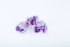 Flores azuis e brancas do açafrão Fotografia de Stock