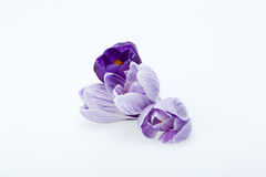 Flores azuis e brancas do açafrão Imagens de Stock