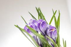 Flores azuis e brancas listradas da mola imagens de stock royalty free