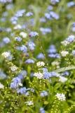 Flores azuis e brancas na beira Fotos de Stock Royalty Free