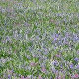 Flores azuis e cor-de-rosa Imagem de Stock Royalty Free