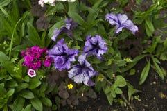 Flores azuis e violetas Fotos de Stock Royalty Free