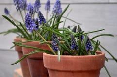 Flores azuis em potenciômetros de argila Foto de Stock