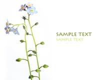 Flores azuis encantadoras Imagens de Stock