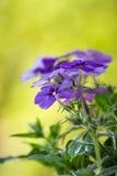 Flores azuis, fundo verde da mola imagem de stock