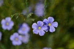 Flores azuis incomuns frescas, Wildflower, flores, fundo verde Imagens de Stock