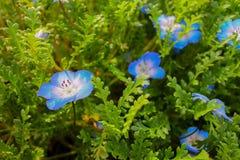 Flores azuis luxúrias destacadas na folha verde Fotos de Stock