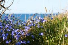 Flores azuis na grama Imagens de Stock Royalty Free