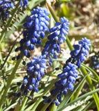 Flores azuis na primavera Fotos de Stock Royalty Free