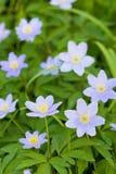 Flores azuis no campo Fotografia de Stock Royalty Free