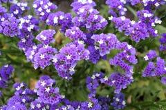 Flores azuis no jardim Fotos de Stock