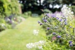 Flores azuis no jardim ao longo de um trajeto da grama imagens de stock royalty free