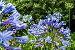 Flores azuis no jardim botânico imagens de stock royalty free
