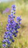 flores azuis no verão Foto de Stock Royalty Free