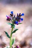 Flores azuis novas da mola Fotos de Stock