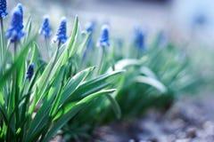 Flores azuis novas da mola Fotos de Stock Royalty Free