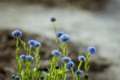 Flores azuis pequenas Fotografia de Stock Royalty Free
