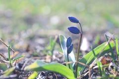 Flores azuis pequenas da mola Imagens de Stock