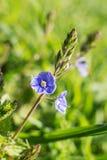 Flores azuis pequenas da mola Fotos de Stock