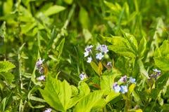 Flores azuis pequenas do miosótis no prado da mola Fundo da planta do prado: flores pequenas azuis - ascendente próximo do miosót Imagem de Stock Royalty Free