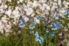 Flores azuis pequenas do miosótis no prado da mola Fundo da planta do prado: flores pequenas azuis - ascendente próximo do miosót Fotografia de Stock Royalty Free