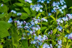 Flores azuis pequenas do miosótis no prado da mola Fundo da planta do prado: flores pequenas azuis - ascendente próximo do miosót fotos de stock