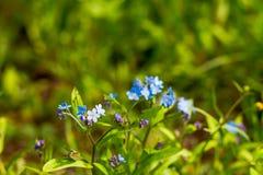 Flores azuis pequenas do miosótis no prado da mola Fundo da planta do prado: flores pequenas azuis - ascendente próximo do miosót Foto de Stock Royalty Free
