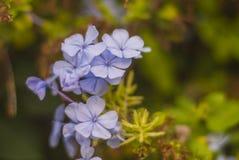 Flores azuis pequenas em um fundo verde fotos de stock royalty free