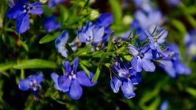 Flores azuis roxas Fotos de Stock Royalty Free