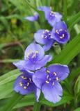 Flores azuis selvagens do Wort da aranha Fotografia de Stock Royalty Free