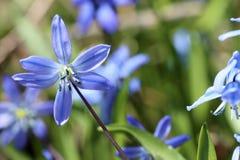 Flores azuis Siberian do Squill da mola Foto de Stock