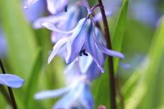 Flores azuis Siberian do Squill da mola Imagem de Stock