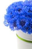 Flores azuis vívidas bonitas da centáurea. imagem de stock royalty free