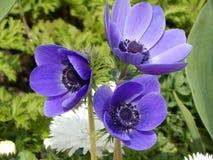 Flores azules Foto de archivo