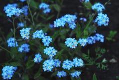 Flores azules Fotografía de archivo libre de regalías