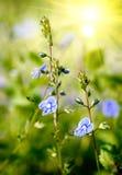 Flores azules agradables Fotografía de archivo libre de regalías