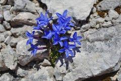 Flores azules alpestres - la genciana del resorte Fotografía de archivo libre de regalías