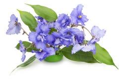 Flores azules apacibles de las violetas Fotografía de archivo