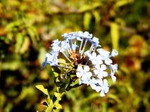 Flores azules blancas de la mezcla Fotografía de archivo