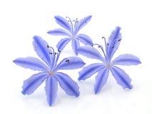 Flores azules brillantes Imágenes de archivo libres de regalías