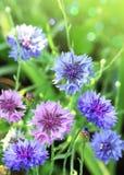 Flores azules brillantes en hierba verde Imagen de archivo